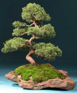 Zasady formowania bonsai