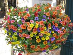 Co roku nowe petunie kaskadowe