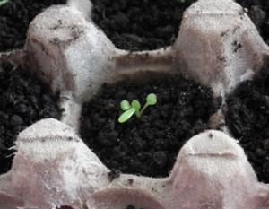 Jak uprawiać petunie kaskadowe