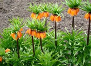 Szachownice (Fritillaria)