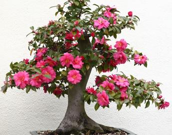kamelia-bonsai