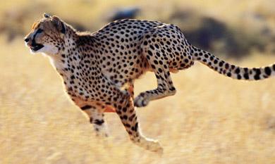 Gepard nie ruszy chorego zwierzęcia