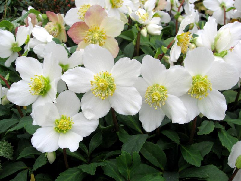 Ciemierniki – piękne kwiaty ogrodowe