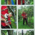 Karczowanie starej jabłoni za pomocą wyciągarki