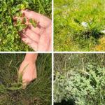 Typowe chwasty trawnikowe